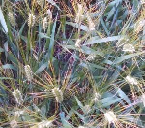 prairie grass small