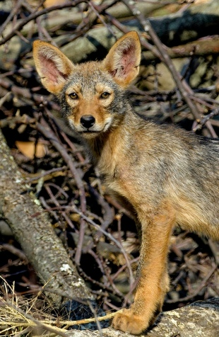 eastern coyote pup vertical