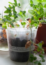 White clover (Trifolium repens) sprouted from seeds collected in Bushwick, Brooklyn, growing on the author's windowsill. (Photo courtesy Dan Phiffer)